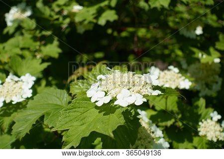 Florescence Of Viburnum Opulus Bush In Mid May