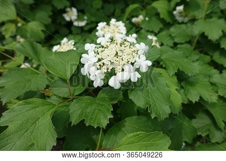Green Leaves And White Flowers Of Viburnum Opulus In Mid May