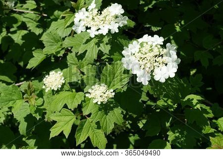 Lush Green Leaves And White Flowers Of Viburnum Opulus In Mid May
