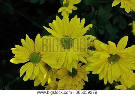 Colorful And Bright Yellow Asters In A Garden