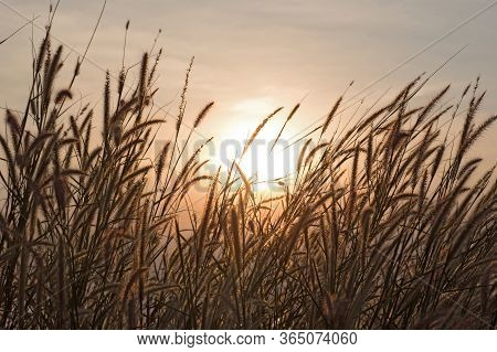 Wonderful Landscape From The Feather Grass Field In The Evening Sunset Silhouette. Serene Feeling Co