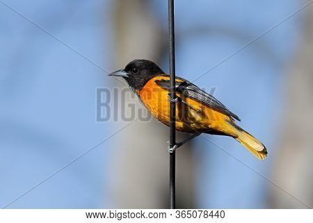 Profile Of A Baltimore Oriole Hanging On A Metal Pole. Blue Sky And Blurred Brown Tree Are The Backg