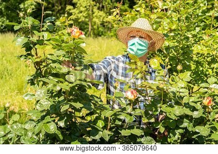 Elderly Man Wearing A Protective Mask In The Domestic Quarantine Period In The Garden To Cure Roses