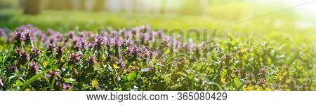 Meadow In The Rays Of The Day Sun In Spring. Thyme Is A Genus Of The Family Lamiaceae.