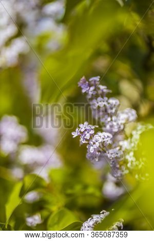 Syringa Vulgaris (lilac Or Common Lilac) Is A Species Of Flowering Plant In The Olive Family Oleacea