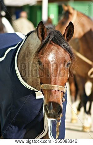 Facial Portrait Of A Red Roan Criollo Horse Walking To The Box Under Sunlight