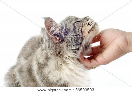 Affectionate Maine Coon Cat