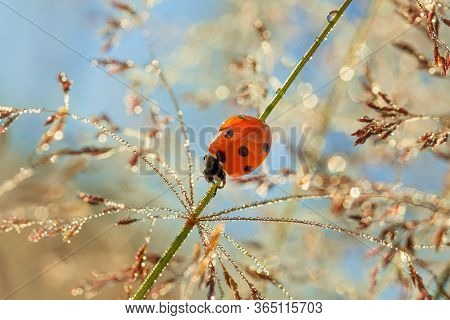 Fairy Tale Spring Meadow With Ladybug Close Up Macro. Wild Life Insect Ladybird On Grass