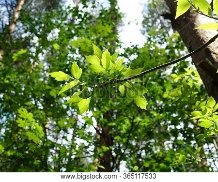 Young Green Leaves In The Forest On A Background Of Trees