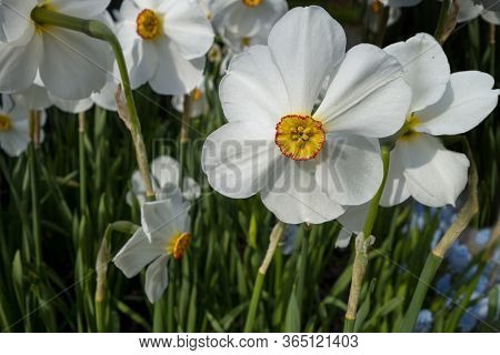 Spring Flora Daffodil Narcissus, Springtime, Narcissus, Paperwhite Cluster Of Garden Flowers