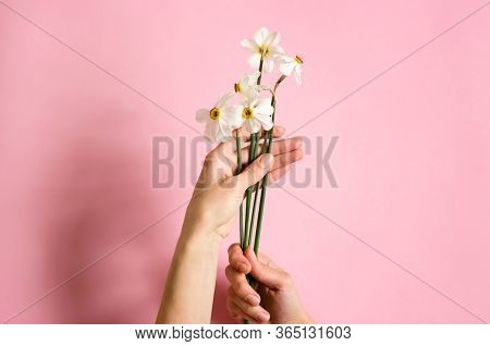 Daffodils In The Hands Of A Young Girl. Hands With Flowers On A Pink Paper Background. White Daffodi