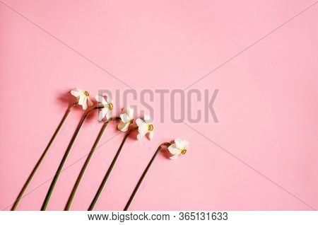 Daffodils Lie On A Pink Background. Five Yellow Daffodils. Floral Background. Place For Your Text