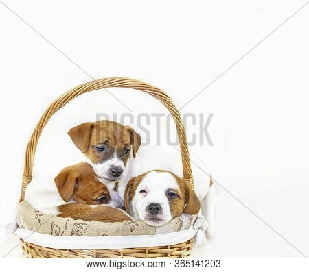 cute Three Puppies Bitches Jack Russell Terrier Are Sitting In An Easter Basket On A White Backgrou