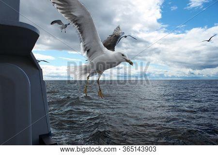 Seagull Lesser Black-backed Larus Seagull Landing On Ship Railing On Background Of White Sea.