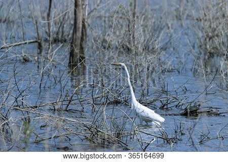 A Great White Egret, Or Heron, Hunting In The Shallow Water Of A Lake Filled With Twigs, Sticks, And