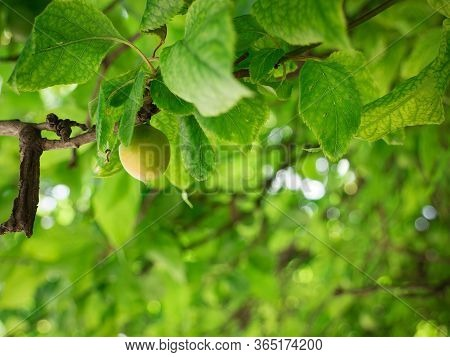 Single Unripe Green Mirabelle Hanging From A Branch. Fresh Plum Tree With Fresh Green Leaves And Blu