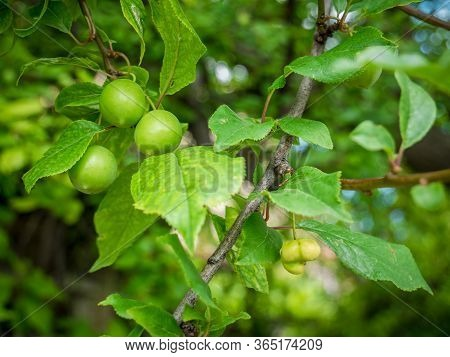 Unripe Green Mirabelle Hanging From A Branch. Fresh Plum Tree With Fresh Green Leaves And Blurred Ba