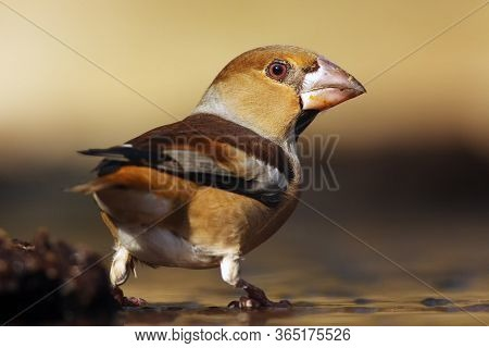 The Hawfinch (coccothraustes Coccothraustes) Sitting At A Drinker. Color Passerine Drinking From The