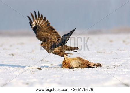 The Common Buzzard (buteo Buteo) With Food. Flying Common Buzzard.