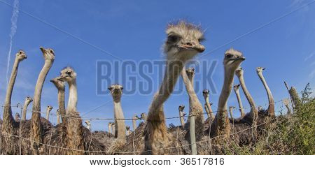 Busy Ostriches