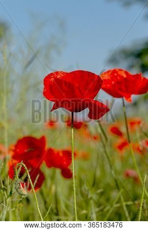 Flowers Red Poppies Bloom In Wild Field. Beautiful Field Of Red Poppies With Highlighted Focus. Soft