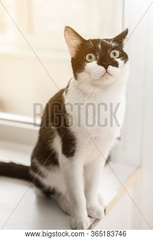 Funny Black And White Tuxedo Cat Is Sitting On The Windowsill And Looking Out The Window, Boredom, C