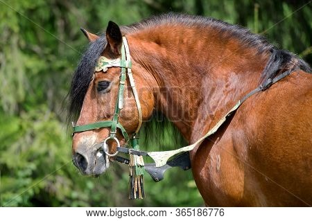 Portrait Of Draught Horse On The Summer