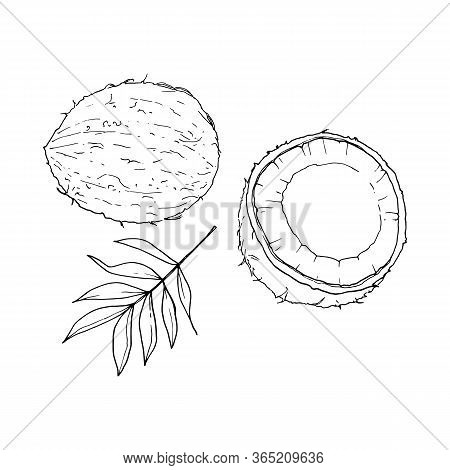 Coconut Outline Isolated On White Background, Hand Drawn Vector Illustration. Set Of Whole Coconut,
