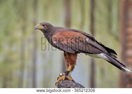 Harris's Hawk, The Bay-winged Hawk Or Dusky Hawk, A Medium-large Bird Of Prey