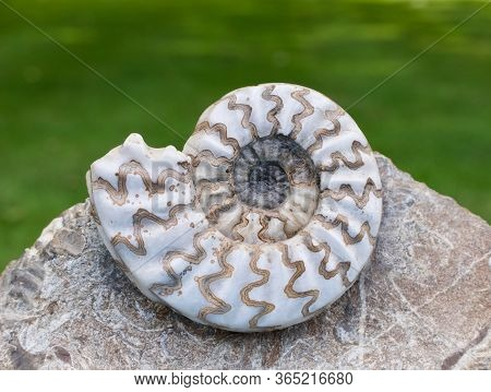 Beautiful White And Brown Fossil Against Soft Green Background