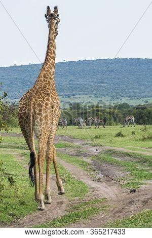 A Rothschild Giraffe In Masai Mara National Park In Kenya