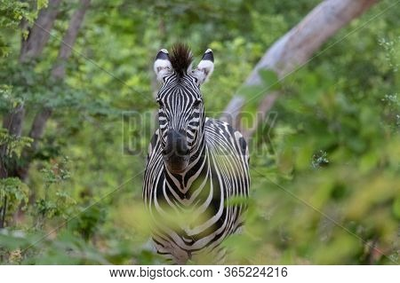 A Solitary Zebra Looks Towards The Camera From A Lush Forest In Zimbabwe.