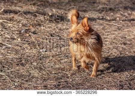 A Hairy Yorkshire Terrier With Big Ears Stands With One Raised Paw In The Forest And Looks Away. A S