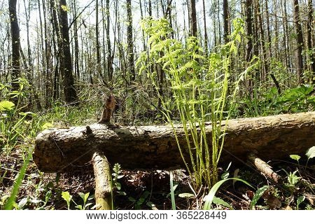 The Sun Shines On A Young Forest Fern In A Very Early Spring, Low Angle View With Selective Focus On