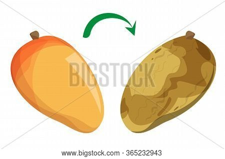 Fresh Delicious Mango Becoming Rotten Vector Isolated. Spoiled Fruit With Fungus, Food Waste. Natura