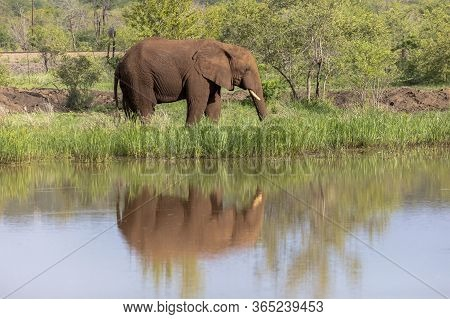A Solitary African Elephant Is Reflected As It Stands By A Stationary River In Zimbabwe