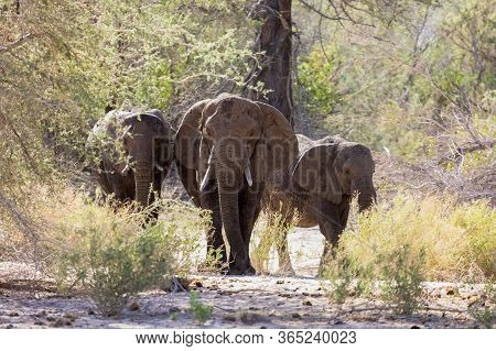 Three African Elephants Walk Out Of The Bush In Namibia.