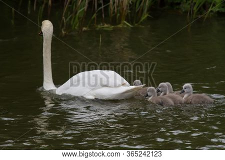 Photo Of Five Mute Swan Signets Swimming With Mum