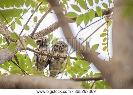 Spotted Owlet (athene Brama) Pair Sitting On Tree Branch In Pune,maharashtra,india
