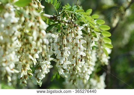 Acacia Flower. Branch Of White Acacia Blooming In Spring