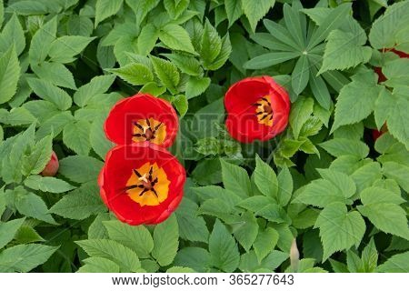 Three Tulips With Bright Red Petals, Yellow Core, Black Stamens And Pistil. The Flowers Are Arranged