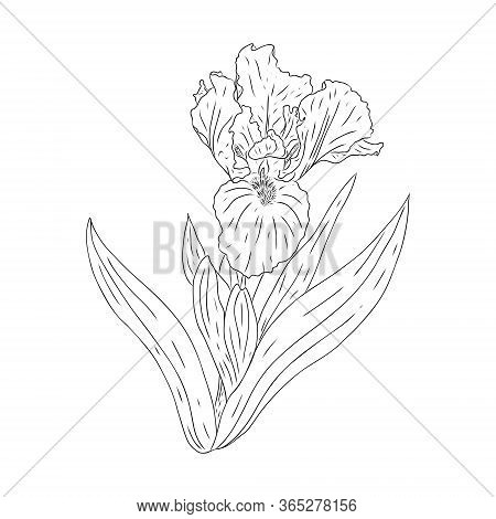 Blooming Iris Flower. Flower With Texture In An Outline Style. Iris Sketch For Postcard Design. Blac