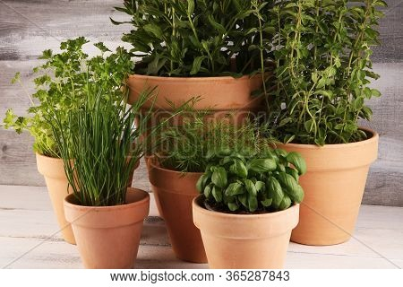 Homegrown And Aromatic Herbs In Old Clay Pots. Set Of Culinary Herbs. Green Growing Fres Chives, Ore