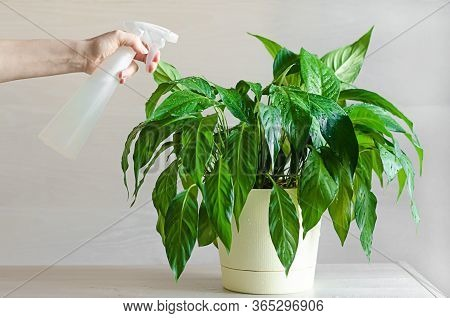 Female Hand Care, Watering, Spraying Indoor Plants. Spathiphyllum Or Female Happiness. Gardening Con