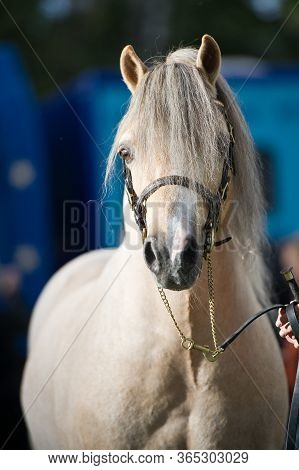 A Head Shot Of A Cream Welsh Pony Foal In A Foal Slip