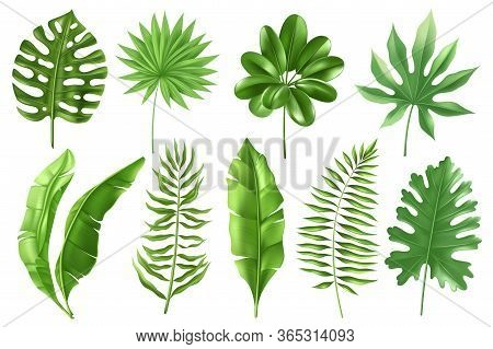 Tropical Leaves Set. Set Of Tropical Palm Leaves In A Realistic Detailed Style. Banana Leaves In Dif