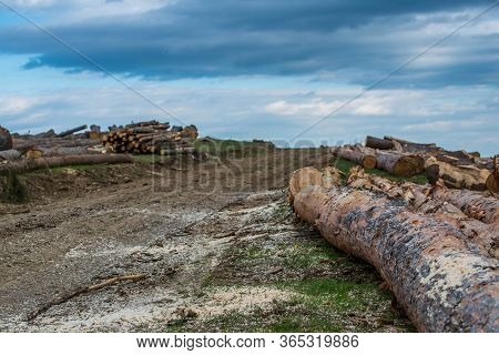 Huge Illegal Cutted Pine Logs Near A Pine Forest In The Carpathian Mountains, Romania, Conceptual Im