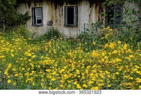 Spring Yellow Marguerite Blooming Flowers In Front Of A Deserted And Abandoned Building. Concept Of