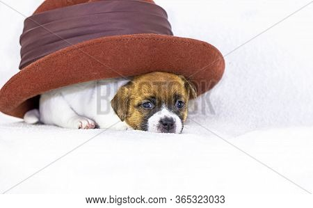 Little Puppy Bitch Jack Russell Terrier Lies Under A Felt Hat On A White Background. Four Weeks From