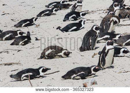 Boulders Bay Penguin Colony Of African Jackass Penguins At Boulders Beach, Cape Province, South Afri